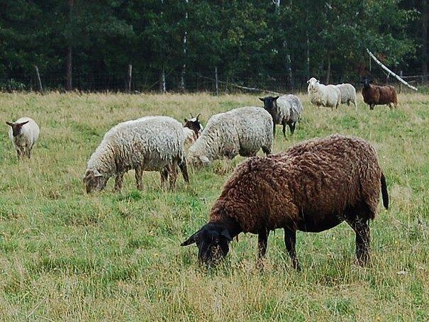 V Bavorsku se u ovcí objevila nebezpečná nemoc přežvýkavců - katarální horečka. Ochranné pásmo zasahuje i na Chebsko a Sokolovsko