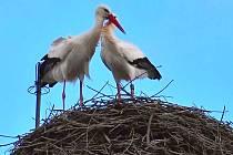 VŠICHNI V CHEBU v těchto dnech vzhlížejí na komín v chebském centru, aby zahlídli párek čápů. Moc často ale nejsou vidět, protože létají do okolních luk a pastvin, aby se nakrmili.