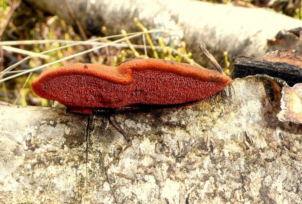 Outkovka rumělková (Pycnoporus cinnabarinus)