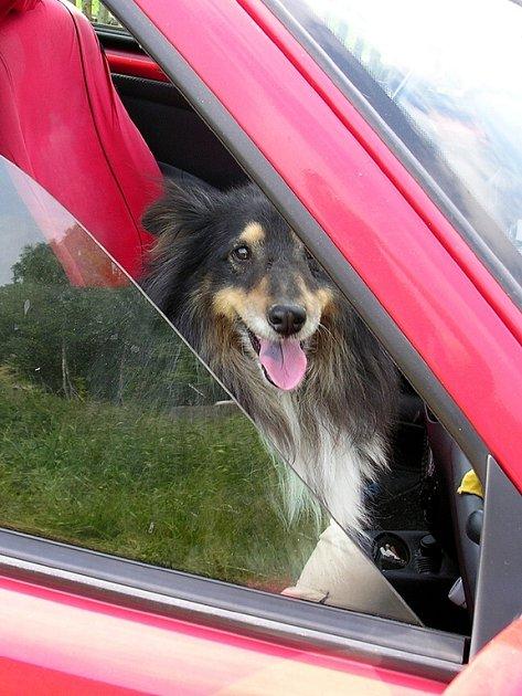 Majitelé psů by si měli uvědomit, že v uzavřeném autě, hrozí zvířatům přehřátí
