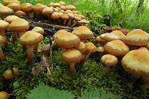 SVŮJ ČERSTVÝ HOUBAŘSKÝ ÚLOVEK opeňky měnlivé zdokumentoval chebský mykolog Jiří Pošmura.
