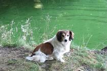 Každý rok především v létě se přehrada Skalka v Chebu takto zazelená. Rozmnoží se v ní totiž sinice. Povodí Ohře začne v polovině května v nádrži zkoušet látky, které mají množení sinic omezit.