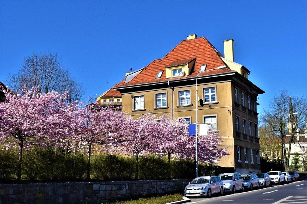V uplynulých dnech v chebských ulicích rozkvetly sakury.