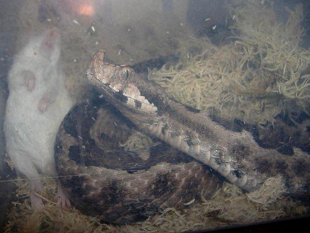 Zmiji růžkatou někdo v Krajskové u Sokolova vyhodil v krabici ke kontejneru. Naštěstí skončila na záchranné stanici živočichů