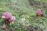 S nádherným houbovým úlovkem se pochlubila Mária Cibová z Chebu. S manželem za dvě hodiny nasbírali dva plné velké košíky.