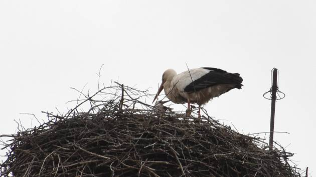 Tři čapí mláďata už zkouší roztahovat svoje křídla na hnízdě v centru Chebu.