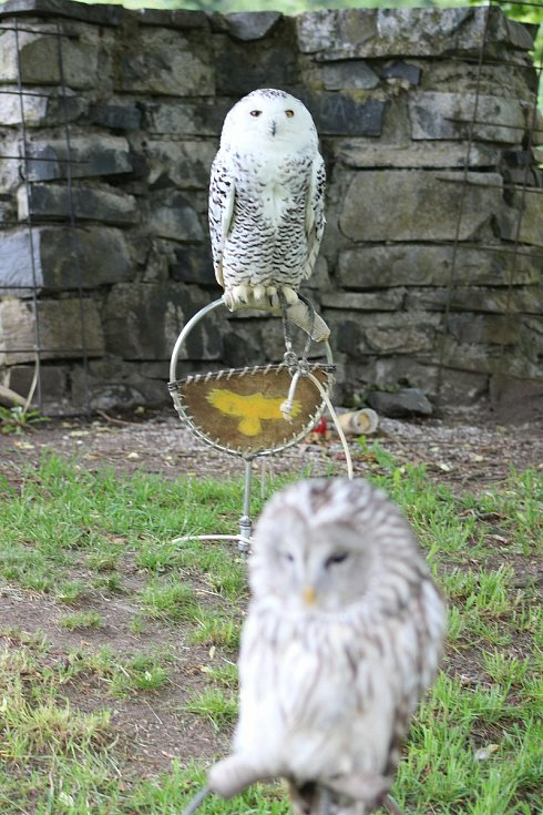 UKÁZKY SOKOLNICTVÍ, v rámci nichž nechyběly ani přelety velkých dravých ptáků, návštěvníky Horního hradu opravdu nadchly