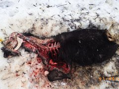 Masitá újeď má přilákat vlky i lišky až k lovci.