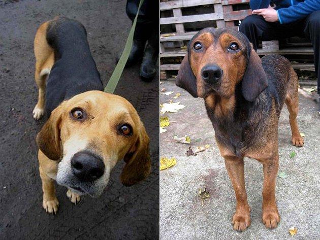 SILNICE je pro toulavé psy velkým rizikem. Fenka na levém snímku se toulala po šestce nedaleko Vrbice. Naštěstí byla včas odchycena. Pejsek na pravém snímku se toulal v okolí Stanovic, potmě a v mlze.