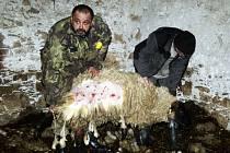 Chovatel ovcí Milan Píchova ukazuje jednu z ovcí, kterou potrhal pes.