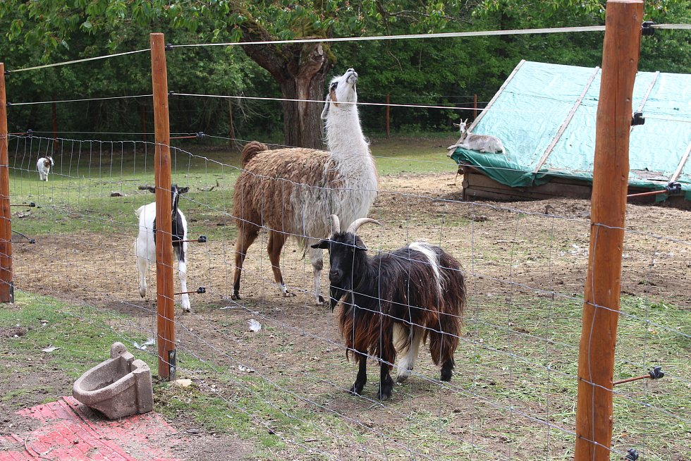 Na farmě Kozodoj v Karlových Varech žije hned několik zvířecích veteránů. Každá zvíře má právo tu dožít.
