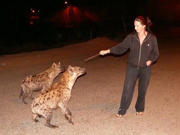 My jsme ale měli štěstí, obě noci asi patnáct hyen přiběhlo za hotel vyčistit smetiště, taky se nám zadařilo, že jsme se dostali zadarmo do jejich blízkosti na ani ne jeden metr.