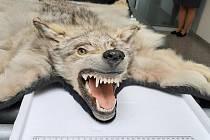 Zadržená trofej vlka obecného.