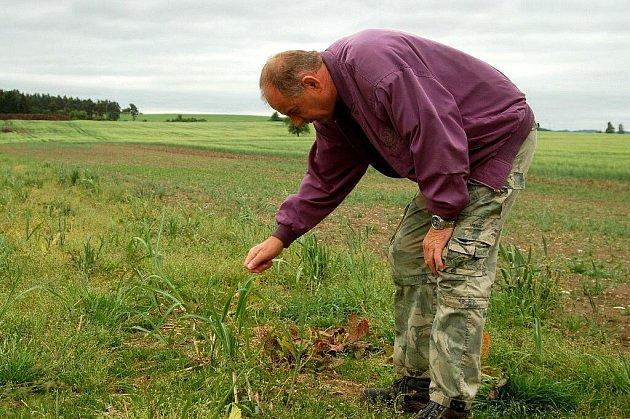 ANTONÍN KORF NA POLI, kde se zemědělské družstvo snaží vypěstovat sloní trávu.