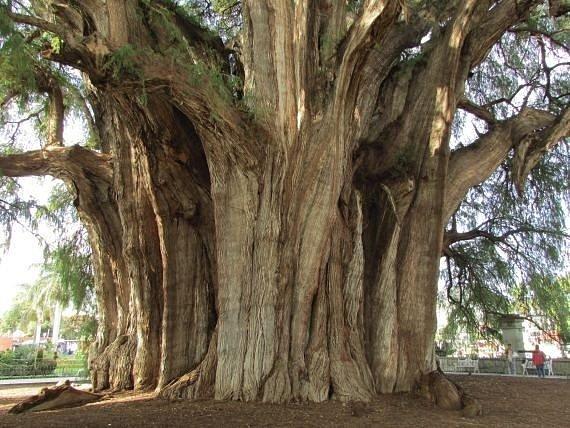 Nejširší strom tisovec.