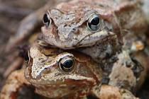 V Karlových Varech začal tradiční jarní tah žab.