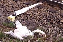 Vlak srazil mezi Hájkem a Ostrovem labutí rodinu. Část mláďat ale patrně přežila a pátrá se po nich.