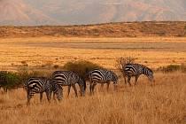 Zebry v parku Nechisar.