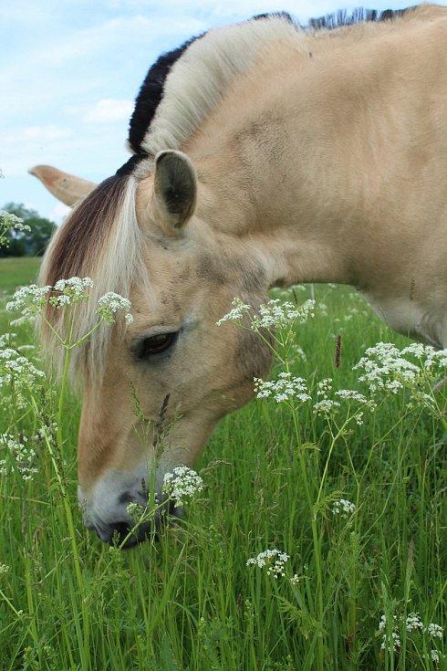 Koně Hany Šafrové Uhlířové jsou k užitku i ostatním.