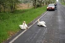 Netradiční pohled se naskytl motoristům, kteří se vydali na cestu z Hájku do Ostrova...