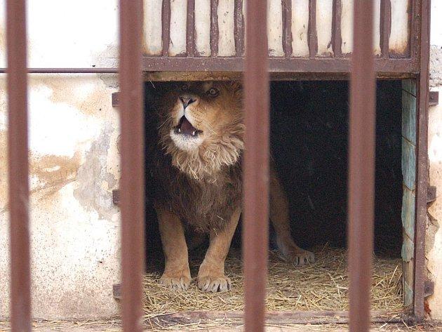Paradoxní situace nastala kolem Bruta, lva Zádamských. Majitelé se o něj dobře starají, ale využívají ho prý k vydírání.Má u nich přesto zůstat?