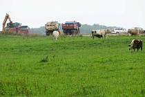 Stavbu obchvatu poctivě dennodenně sleduje i stádo krav, které práce stavařů vůbec nevzrušuje.