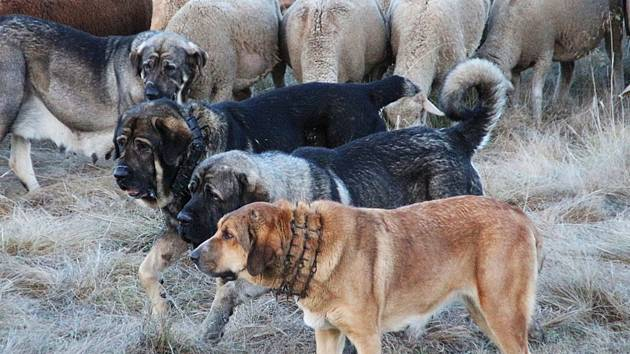 Španělský mastin, ochránce ovcí.