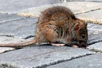 Zní to jako z hororu, ale pokud se vám v těchto dnech přimotá pod nohy potkan s dlouhým ocasem, pak se můžete odporem otřást, ale divit ne. Tato zvířata se totiž v Karlových Varech přemnožila.