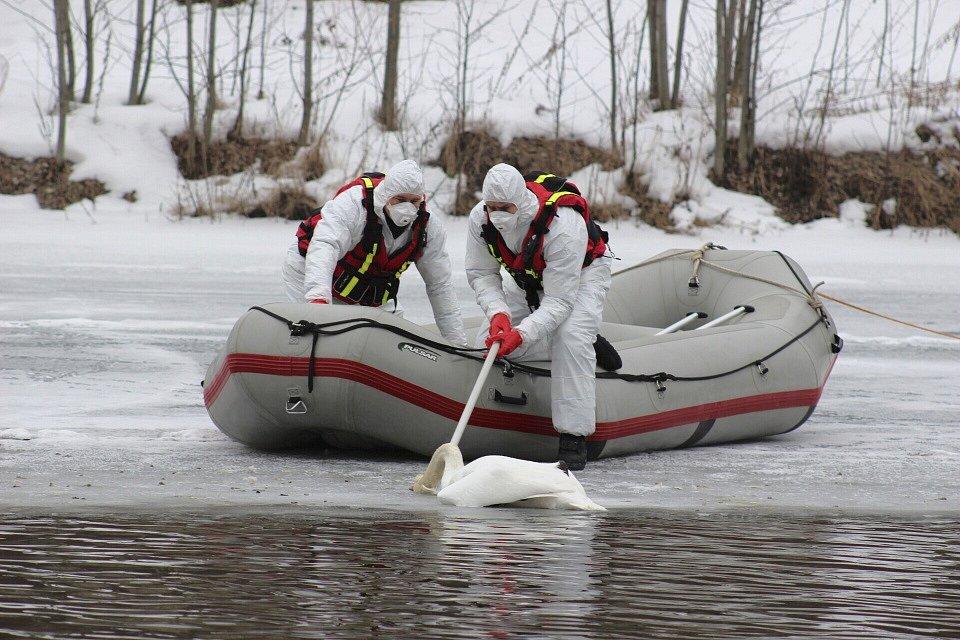 Hasiči odstraňují uhynulou labuť z řeky Ohře v Karlových Varech.