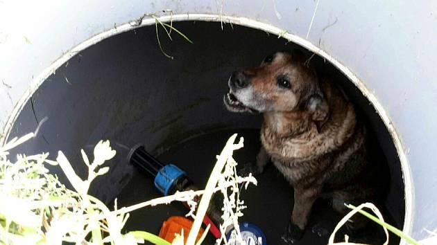 Pes uvízlý v jímce.