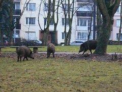 Divoká prasata, ilustrační foto