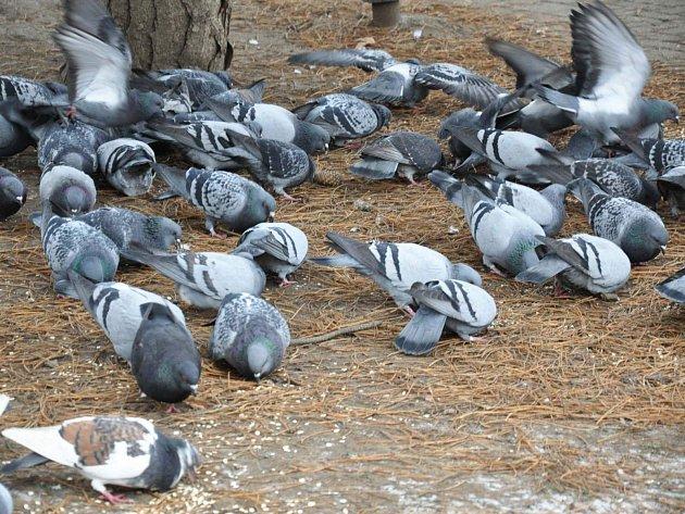 Města v regionu vyhlásila boj holubům.