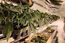 Marihuana zajištěná při akci Leguán.