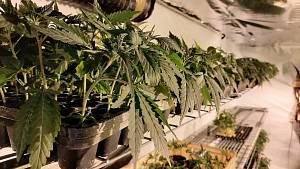 Kriminalisté rozbili gang výrobců a distributorů marihuany.