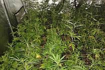 Odhalená pěstírna marihuany v Sadově.