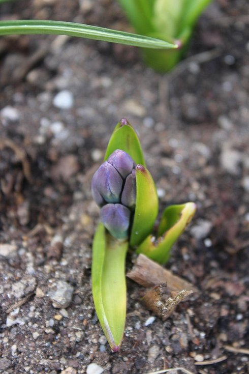 A tady se klube už i hyacint.