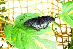 Okřídlených krasavců tu teď lítá více než loni. Daří se i housenkám a tropické vegetaci.