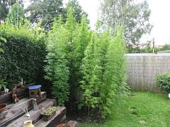Rostliny konopí na zahrádce v Karlových Varech.