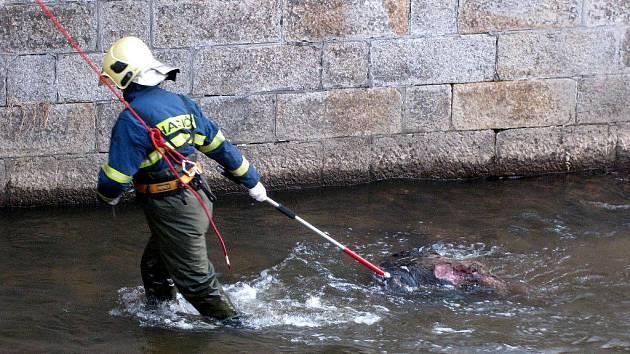 O VYTAŽENÍ uhynulého zvířete z koryta Teplé se v centru Karlových Varů postarali hasiči.