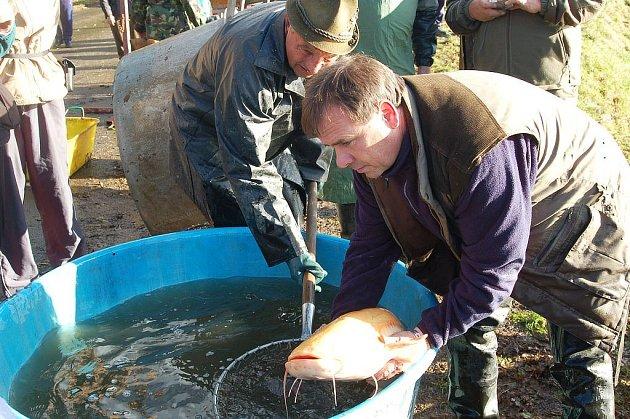Maskot rybářů. Rybáři z Božičan v rybníce ´Nad cestou´ v sobotu vylovili i zlatého sumce, kterému přezdívají Véna. Tento albín měří 122 centimetrů a váží 15 kilogramů.