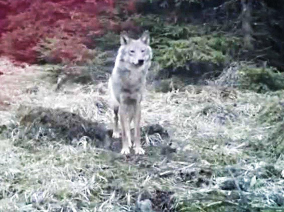 Fotopast zachytila vlka, jak větří a předvádí se.