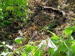 Živé krajty v lese nejsou. Do lesů u Vykmanova vyvezl těla čtyř mrtvých plazů jejich majitel.