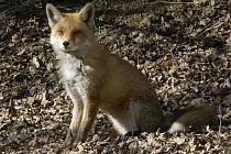 ŠÍŘENÍ NÁKAZY mají na svědomí lišky.