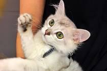 Opravdovou světovou raritu bude možné vidět na mezinárodní výstavě koček