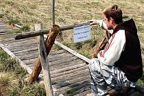 ZAVŘENO! Cedule zakazující vstup na polorozpadlé chodníky naučné stezky Božídarské rašeliniště už neplatí