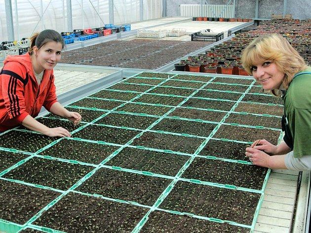 V ulicích měst se začíná uklízet, aby vypadaly s příchodem jara co nejlépe. K tomu mnohde poslouží i květinová výzdoba. Ve sklenících Správy lázeňských parků Karlovy Vary zahradnice Barbara Svobodová a Marie Riesnerová (zleva) připravují stovky sazenic.