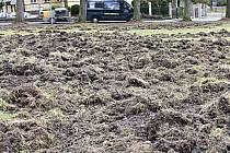 KDYŽ SE DIVOČÁCI pustí do trávníků, vypadá to, jako by si je vzal do práce mohutný pluh a provedl hlubokou orbu.