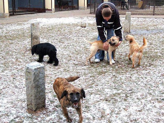 ČEKAJÍ NA PÁNY. I když od 13. prosince opustilo brány karlovarského psího útulku 12 psů, stále jich ještě 17 čeká na nové páníčky. Veronika Mišková má se smečkou plné ruce práce.