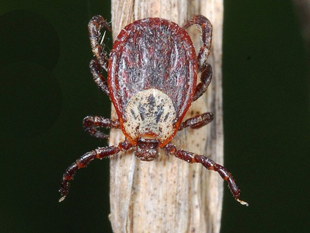 Od klíštěte obecného se piják liší pestrým štítkem, který má obvykle hnědočervenou barvu s bílou kresbou. U samců kryje štítek celé tělo, u samic jen přední část. Piják je větší než klíště, nasátá samička pak může mít až jeden centimetr. Nenasátý piják pa