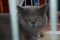 Sto čtrnáct chovatelů nejrůznějších plemen koček předvedlo své čtyřnohé mazlíčky na 19. ročníku mezinárodní výstavy pořádané karlovarským Klubem koček. Mezi soutěžícími kočkami převládala Britská kočka.